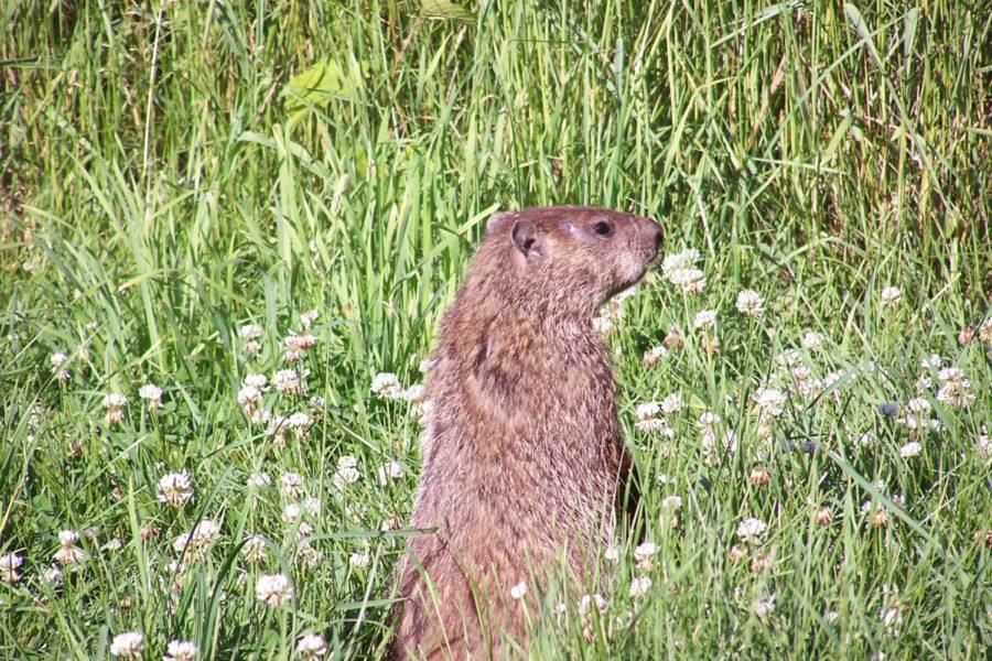 A+groundhog%2C+much+like+the+one+that+predicts+the+forecast+of+winter+every+Feb.+2%2C+stands+in+a+field.