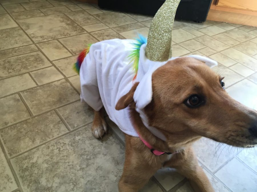 Bunn's pet dog, Cinnamon, wears a unicorn outfit on a random given day. Bunn owns multiple pets, Cinnamon just being another one.