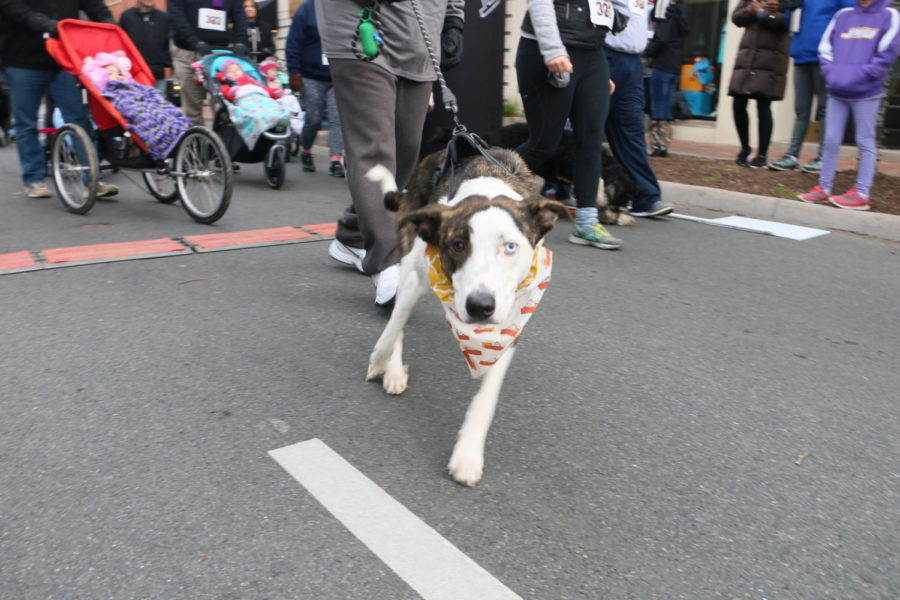 Many dogs ran in the race alongside their owners, yet both were equally excited.
