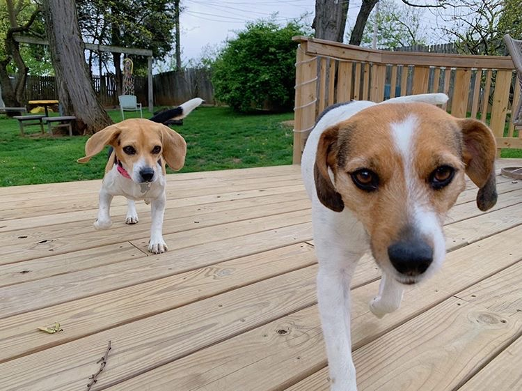 """Junior Chloe Nichols has two dogs, Lola (left) and Macy (right). """"My family and I have taken our pups on countless walks during quarantine and have played catch hundreds of times,"""" Nichols said."""